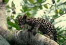 Baby Ocelot In The Trees
