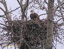 *LIVE FEED* Bald Eagle Nest