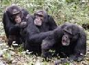 Chimpanzee Problem Solving by Cooperation